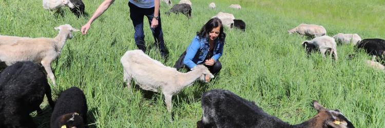 Članica bečkog poglavarstva za zaštitu okoliša Ulli Sima ističe kako održavanje travnatih površina uz pomoć ovaca ima brojne prednosti