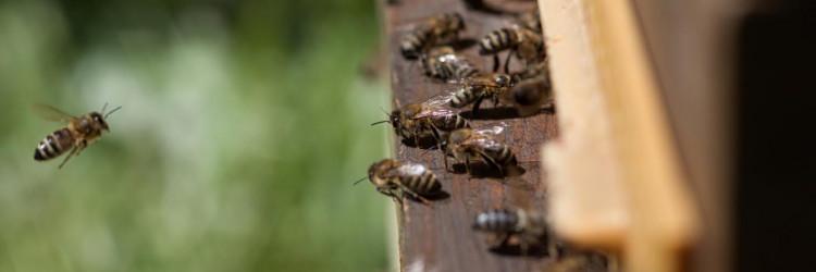 Bečko gradsko poduzeće za zaštitu okoliša (MA22) za sve je zainteresirane građanke i građane pripremilo kratke upute o tome kako i oni mogu doprinijeti raznolikosti insekata u svom gradu